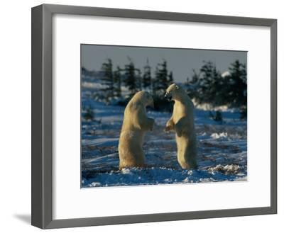 A Pair of Polar Bears (Ursus Maritimus) Stand on Their Hind Legs Prepared to Wrestle One Another-Norbert Rosing-Framed Photographic Print