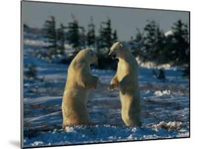 A Pair of Polar Bears (Ursus Maritimus) Stand on Their Hind Legs Prepared to Wrestle One Another-Norbert Rosing-Mounted Photographic Print