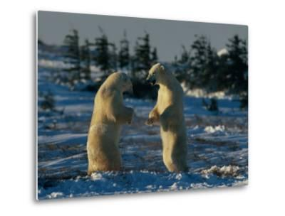 A Pair of Polar Bears (Ursus Maritimus) Stand on Their Hind Legs Prepared to Wrestle One Another-Norbert Rosing-Metal Print