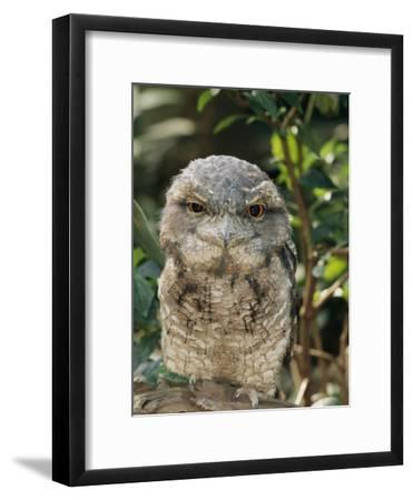 Tawny Frogmouth Bird-George Grall-Framed Photographic Print