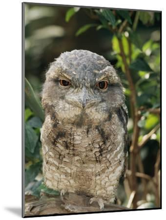 Tawny Frogmouth Bird-George Grall-Mounted Photographic Print