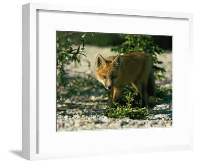 Juvenile Red Fox-Norbert Rosing-Framed Photographic Print