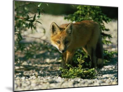 Juvenile Red Fox-Norbert Rosing-Mounted Photographic Print