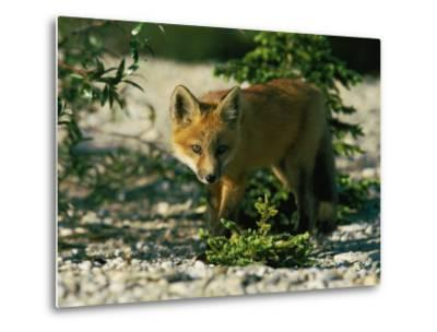 Juvenile Red Fox-Norbert Rosing-Metal Print