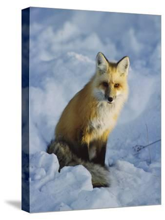 A Red Fox Sits in the Snow-Tom Murphy-Stretched Canvas Print