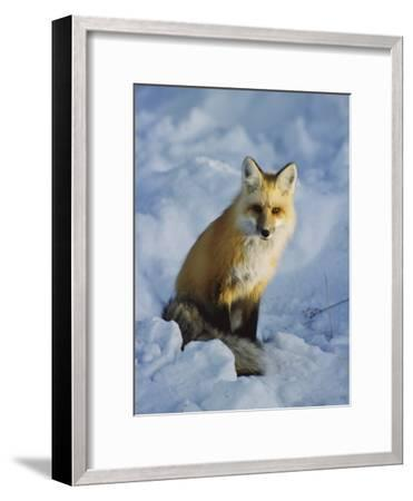 A Red Fox Sits in the Snow-Tom Murphy-Framed Photographic Print