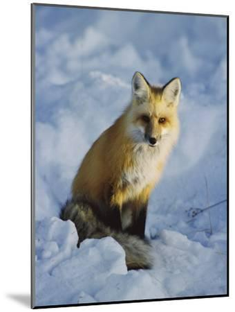 A Red Fox Sits in the Snow-Tom Murphy-Mounted Photographic Print