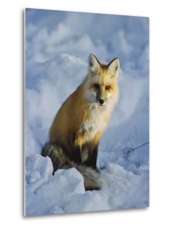 A Red Fox Sits in the Snow-Tom Murphy-Metal Print