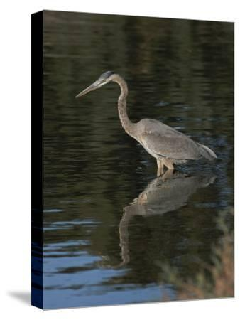 Great Blue Heron-Marc Moritsch-Stretched Canvas Print