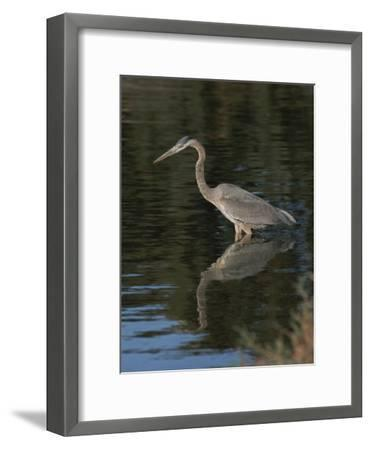 Great Blue Heron-Marc Moritsch-Framed Photographic Print