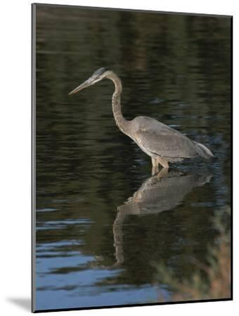 Great Blue Heron-Marc Moritsch-Mounted Photographic Print