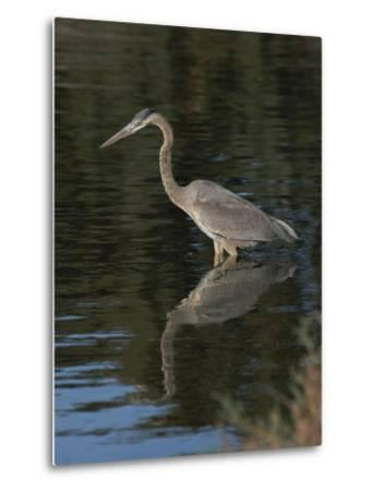 Great Blue Heron-Marc Moritsch-Metal Print