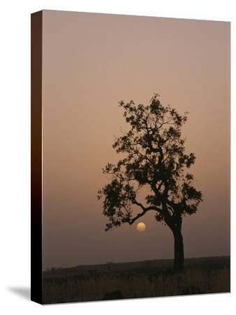 Baobab Tree (Adansonia Digitata) Silhouetted by the African Sunset-Bobby Model-Stretched Canvas Print
