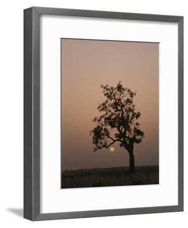 Baobab Tree (Adansonia Digitata) Silhouetted by the African Sunset-Bobby Model-Framed Photographic Print