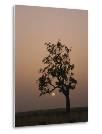 Baobab Tree (Adansonia Digitata) Silhouetted by the African Sunset-Bobby Model-Metal Print