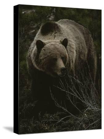 Close Frontal View of a Huge Grizzly (Ursus Arctos Horribilis) in a Pine Wood-Michael S^ Quinton-Stretched Canvas Print