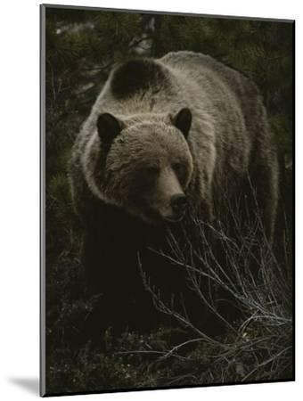 Close Frontal View of a Huge Grizzly (Ursus Arctos Horribilis) in a Pine Wood-Michael S^ Quinton-Mounted Photographic Print