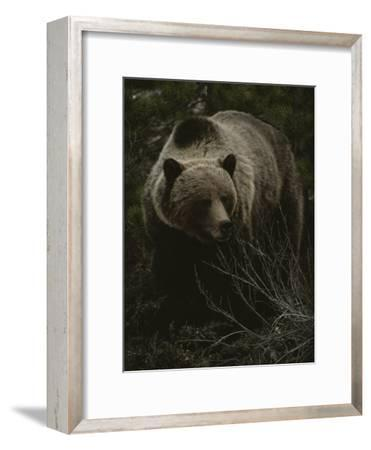 Close Frontal View of a Huge Grizzly (Ursus Arctos Horribilis) in a Pine Wood-Michael S^ Quinton-Framed Photographic Print
