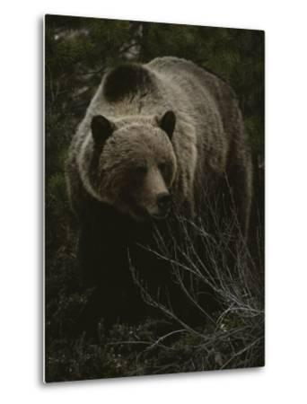 Close Frontal View of a Huge Grizzly (Ursus Arctos Horribilis) in a Pine Wood-Michael S^ Quinton-Metal Print