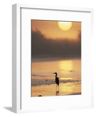 A Little Blue Heron Silhouetted on a Florida Beach at Sunrise-Roy Toft-Framed Photographic Print