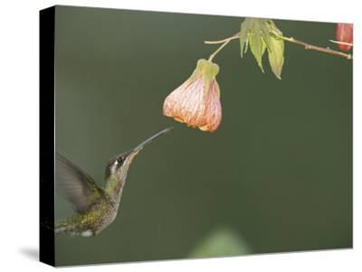 A Tropical Hummingbird Feeds on a Flower-Roy Toft-Stretched Canvas Print