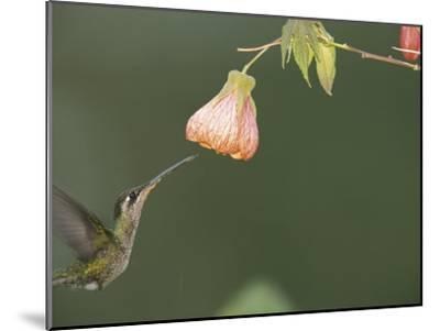 A Tropical Hummingbird Feeds on a Flower-Roy Toft-Mounted Photographic Print