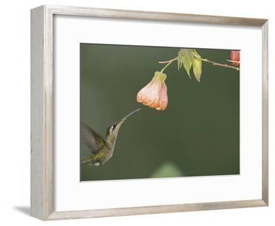 A Tropical Hummingbird Feeds on a Flower-Roy Toft-Framed Photographic Print