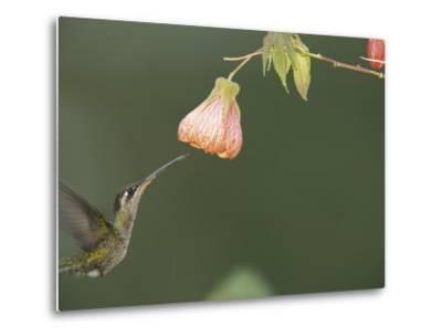 A Tropical Hummingbird Feeds on a Flower-Roy Toft-Metal Print