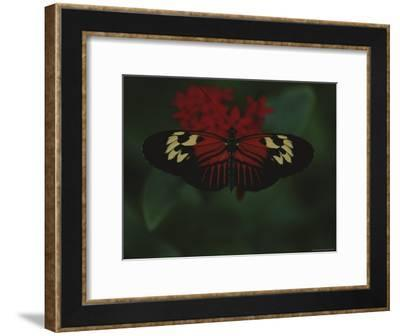 A Close View of a Red and White Butterfly on a Red Flower-Raul Touzon-Framed Photographic Print