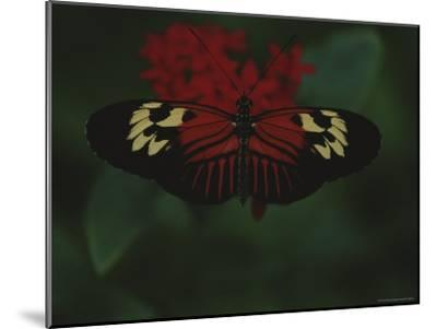 A Close View of a Red and White Butterfly on a Red Flower-Raul Touzon-Mounted Photographic Print