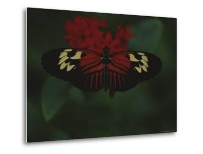 A Close View of a Red and White Butterfly on a Red Flower-Raul Touzon-Metal Print