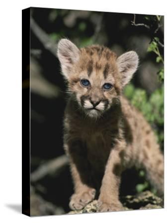 A Captive Mountain Lion Cub (Felis Concolor) Takes a Walk-Tom Murphy-Stretched Canvas Print