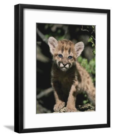A Captive Mountain Lion Cub (Felis Concolor) Takes a Walk-Tom Murphy-Framed Photographic Print