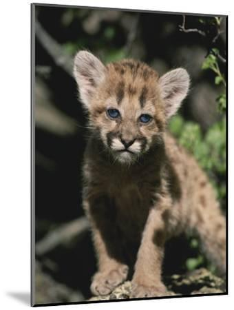 A Captive Mountain Lion Cub (Felis Concolor) Takes a Walk-Tom Murphy-Mounted Photographic Print