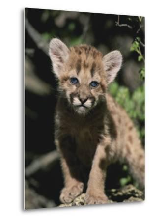 A Captive Mountain Lion Cub (Felis Concolor) Takes a Walk-Tom Murphy-Metal Print