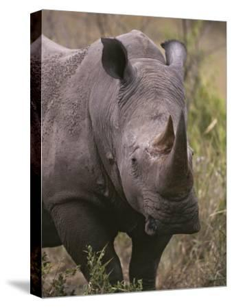 A Close View of a White Rhinoceros, Ceratotherium Simum-Tim Laman-Stretched Canvas Print