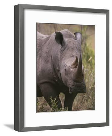 A Close View of a White Rhinoceros, Ceratotherium Simum-Tim Laman-Framed Photographic Print