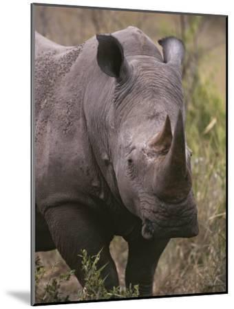A Close View of a White Rhinoceros, Ceratotherium Simum-Tim Laman-Mounted Photographic Print