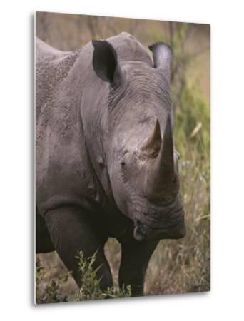 A Close View of a White Rhinoceros, Ceratotherium Simum-Tim Laman-Metal Print