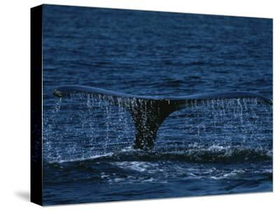 The Tail Flukes of a Humpback Whale-Tim Laman-Stretched Canvas Print