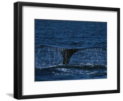The Tail Flukes of a Humpback Whale-Tim Laman-Framed Photographic Print