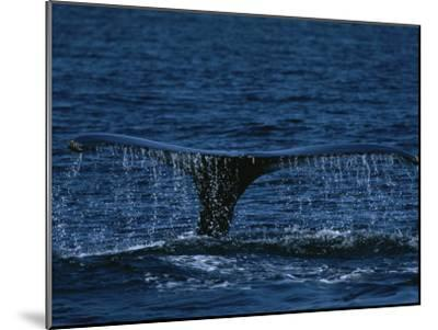 The Tail Flukes of a Humpback Whale-Tim Laman-Mounted Photographic Print
