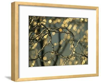 Frozen Twigs of a Corkscrew Willow Sparkle in the Sunlight-Raymond Gehman-Framed Photographic Print