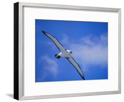 A Shy Albatross in Flight in a Clear Blue Sky, This Species is Considered Vulnerable-Jason Edwards-Framed Photographic Print