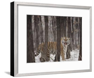 A Gaping Grimace Allows a Siberian Tiger to Take in Scents-Marc Moritsch-Framed Photographic Print
