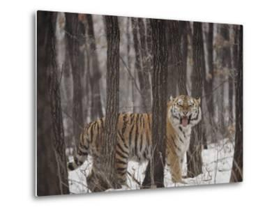 A Gaping Grimace Allows a Siberian Tiger to Take in Scents-Marc Moritsch-Metal Print