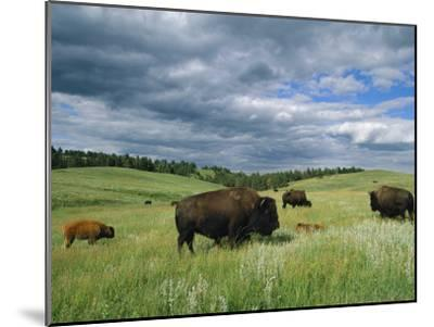 Bison and Their Calves Graze in Custer State Park-Annie Griffiths Belt-Mounted Photographic Print