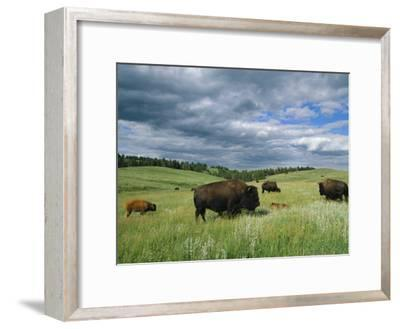 Bison and Their Calves Graze in Custer State Park-Annie Griffiths Belt-Framed Photographic Print