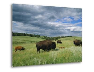 Bison and Their Calves Graze in Custer State Park-Annie Griffiths Belt-Metal Print
