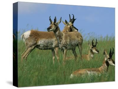 A Group of Pronghorns in Buffalo Gap National Grassland-Annie Griffiths Belt-Stretched Canvas Print